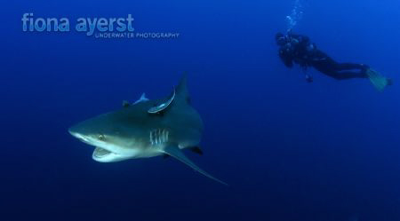 scuba diving with large  Bull sharks get the adrenalin go... by Fiona Ayerst 